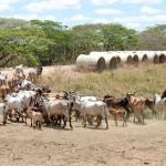 牛と牛追い(ベネズエラ)