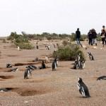 バルデス半島(ペンギンコロニー)(アルゼンチン)